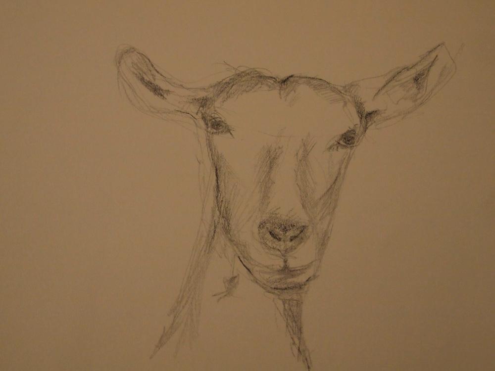 Zeichnung Ziege
